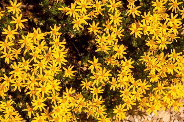 An overhead view of Damianita daisies ( Chrysactinia mexicana) in a rock garden.
