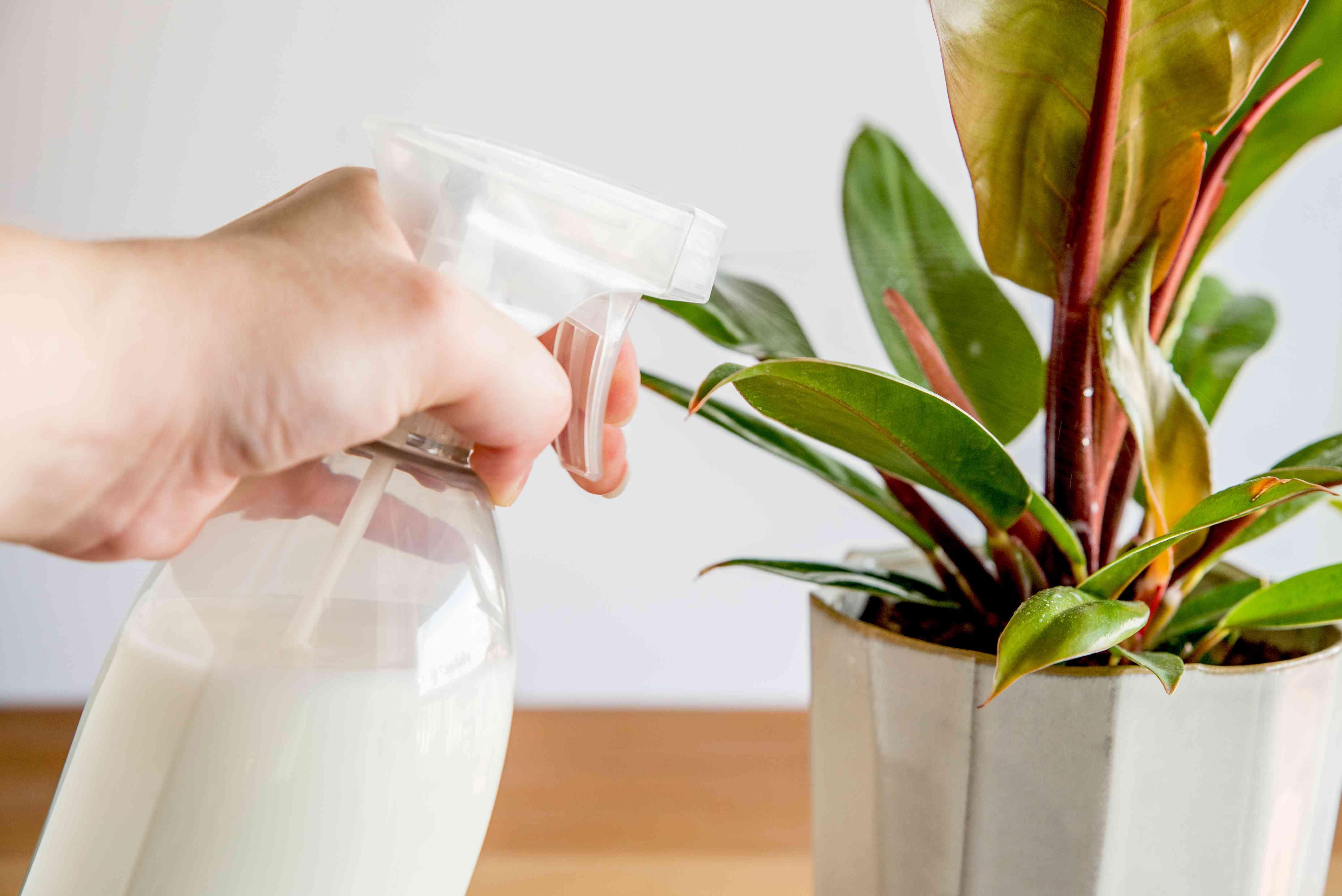 spraying milk spray onto a plant