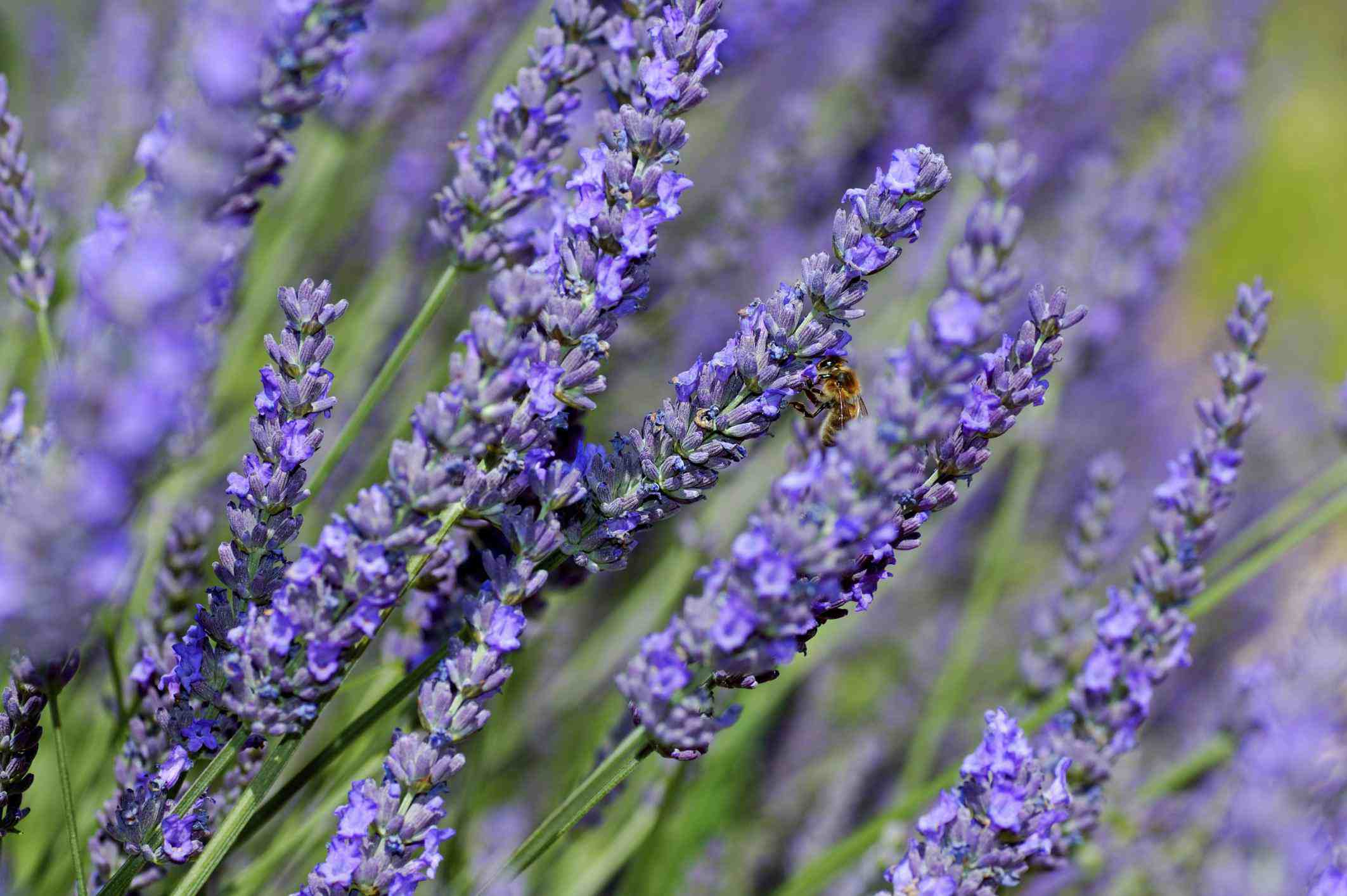 Lavender (Lavandula angustifolia), Provence, France