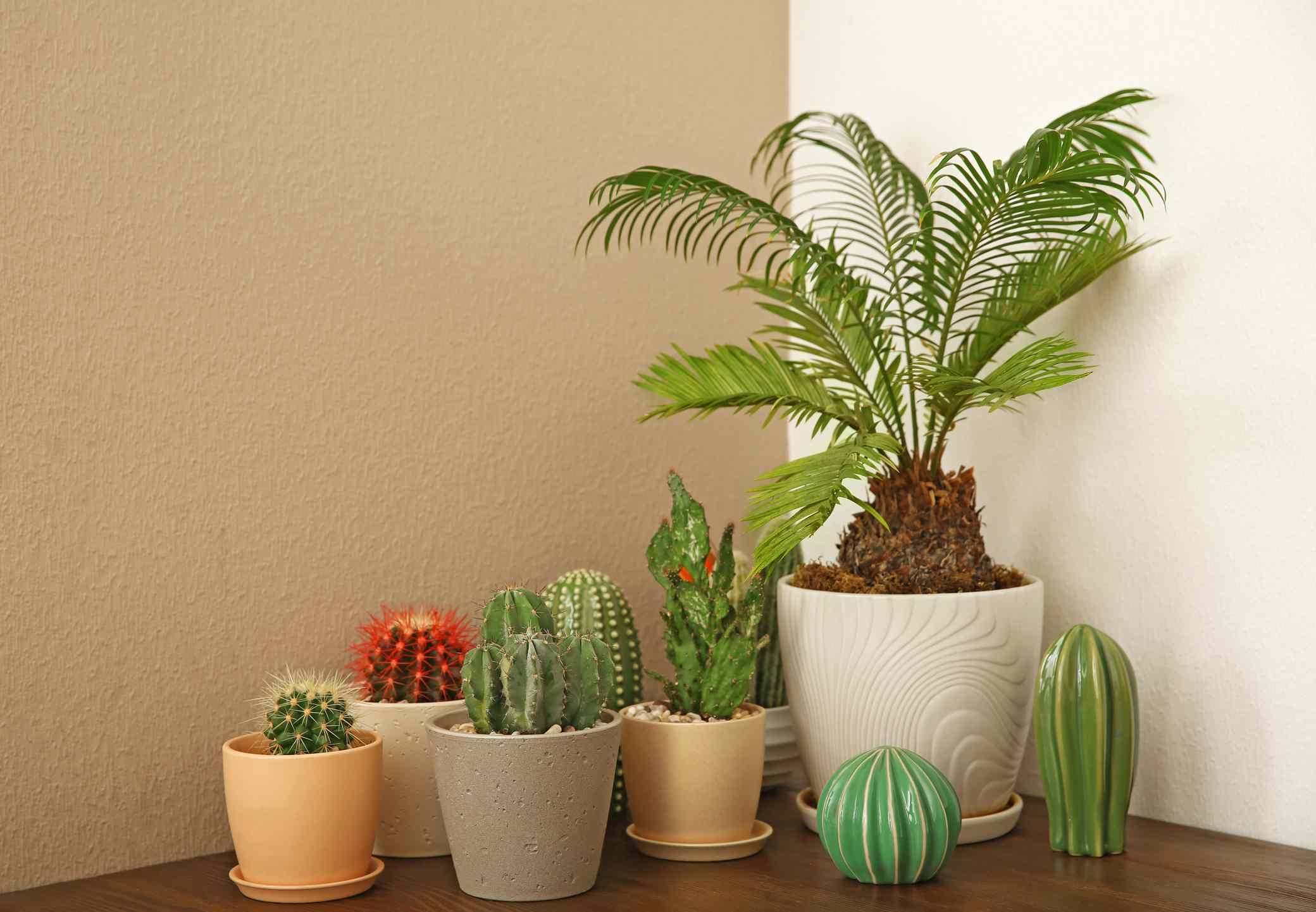A sago palm sits on a table indoors with cacti.