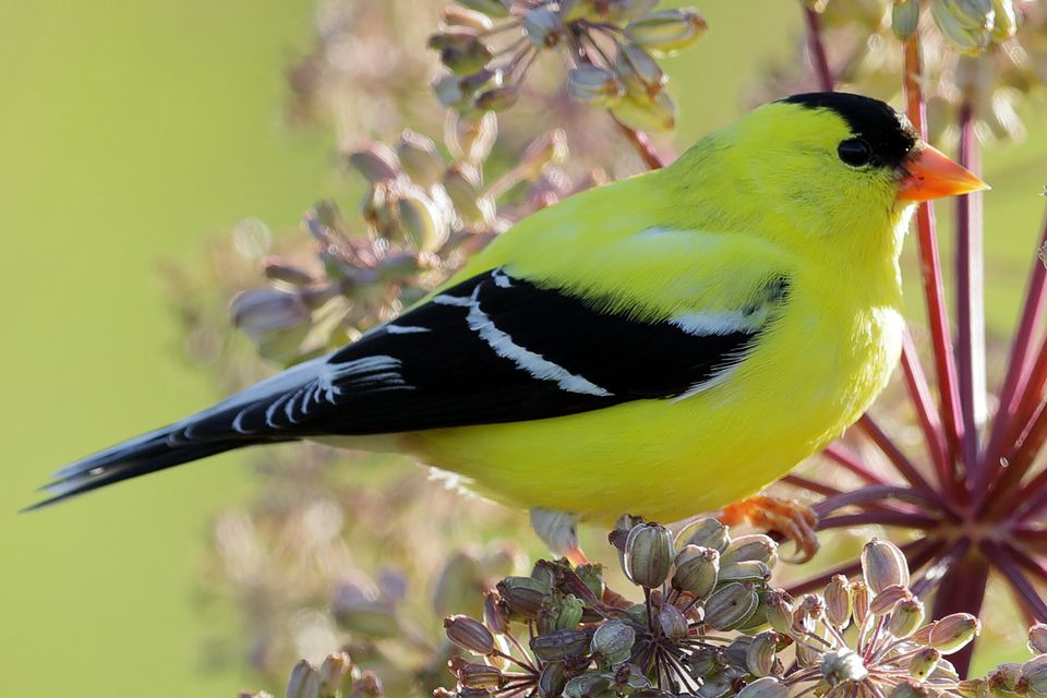 Close-up of an American goldfinch