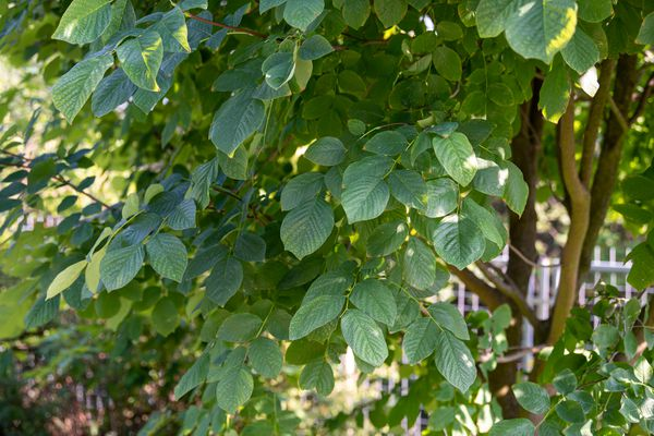 Yellowwood tree branches with rounded and ribbed leaves hanging