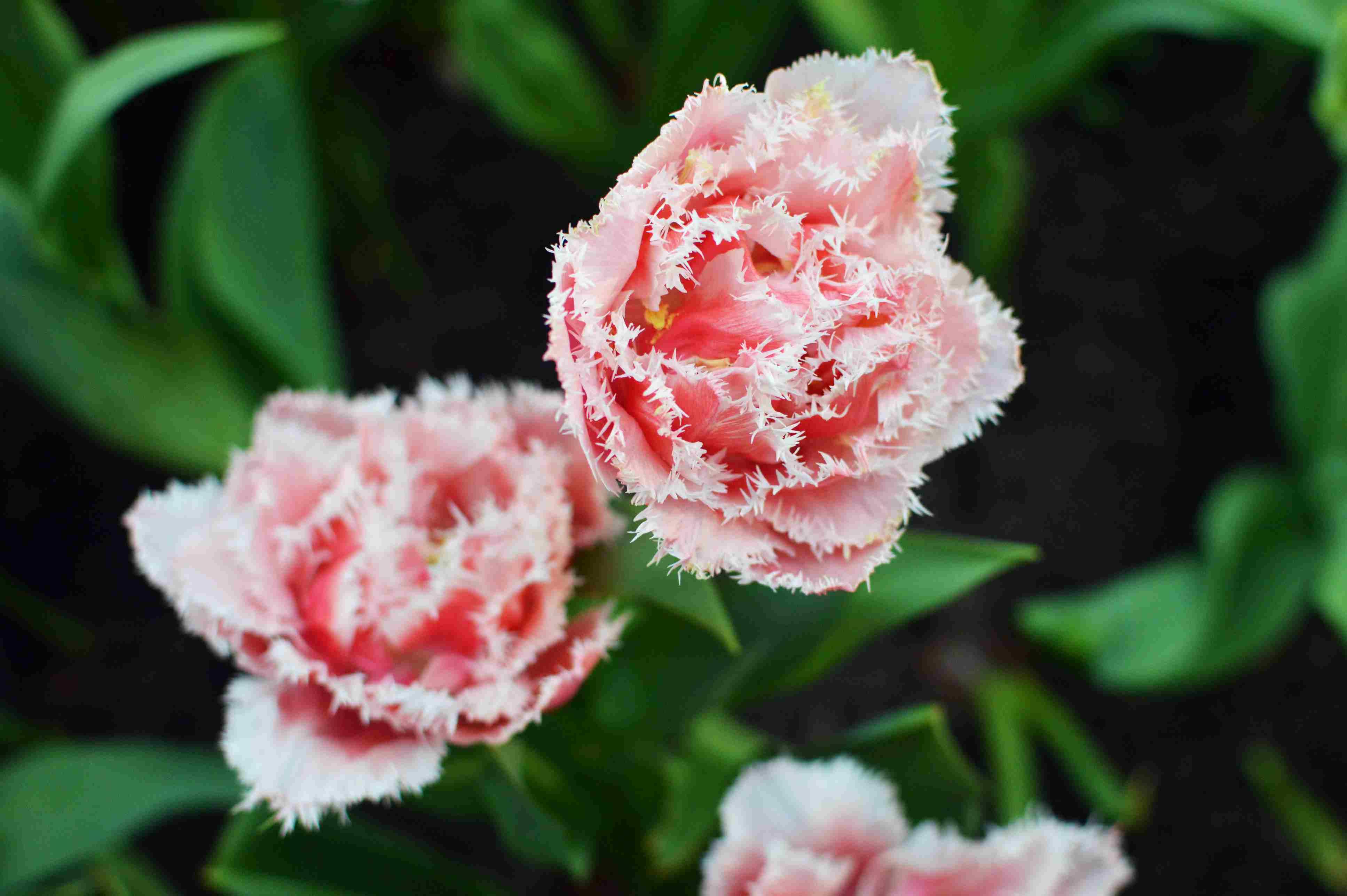 Crispa Tulips