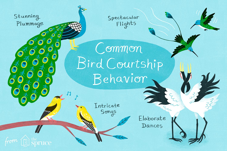 Illustration of bird courtship behaviors