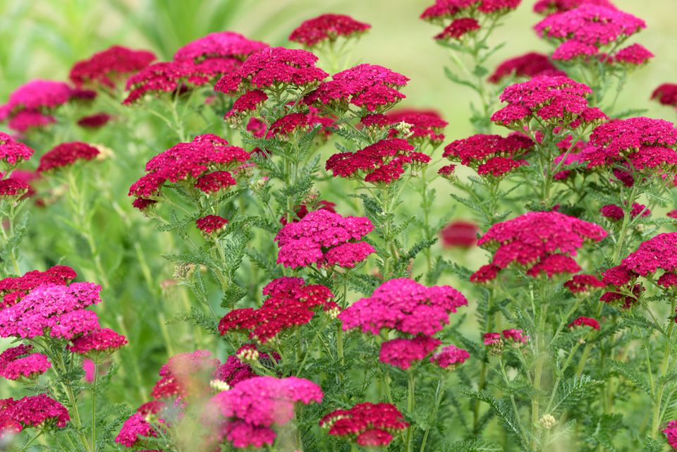 Yarrow achillea plant with bright pink flattened flower clusters on tall stems