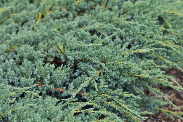 Creeping juniper plant covering the ground