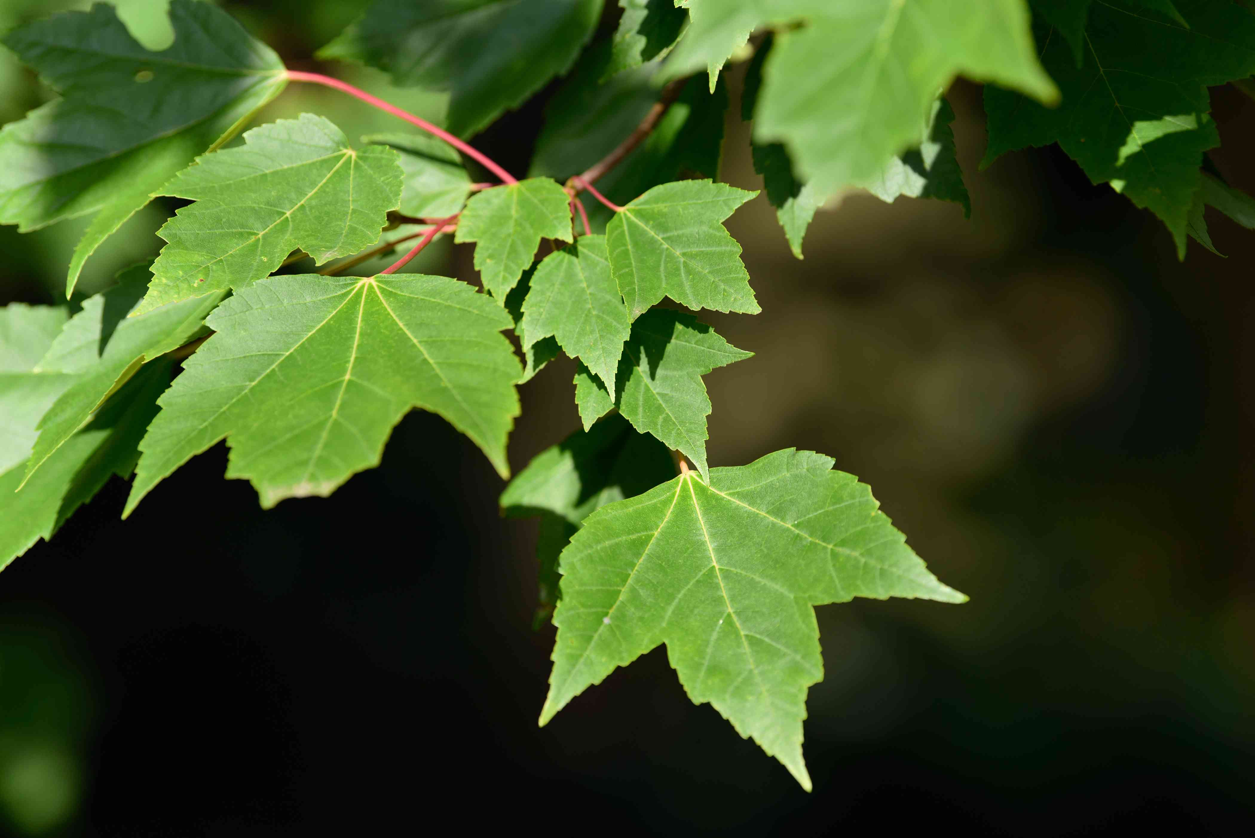 Red sunset maple tree branch with green three-lobed leaves closeup