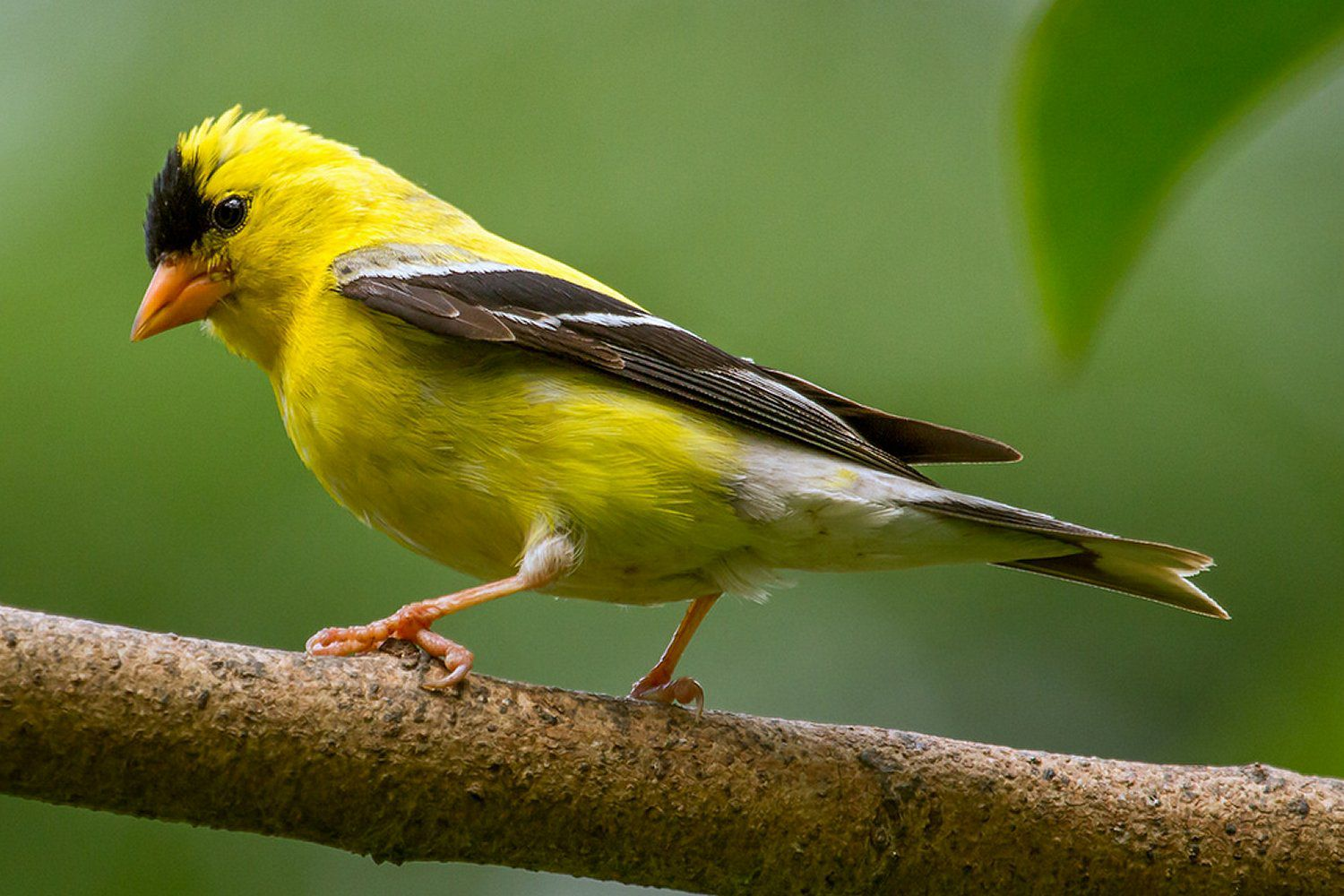 Songbird Pictures Closeups of Passerines and Non-Passerines American goldfinch female photo