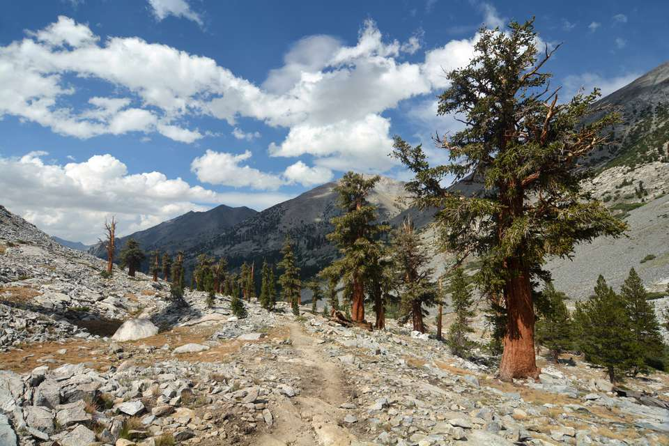 Foxtail pine trees in wilderness