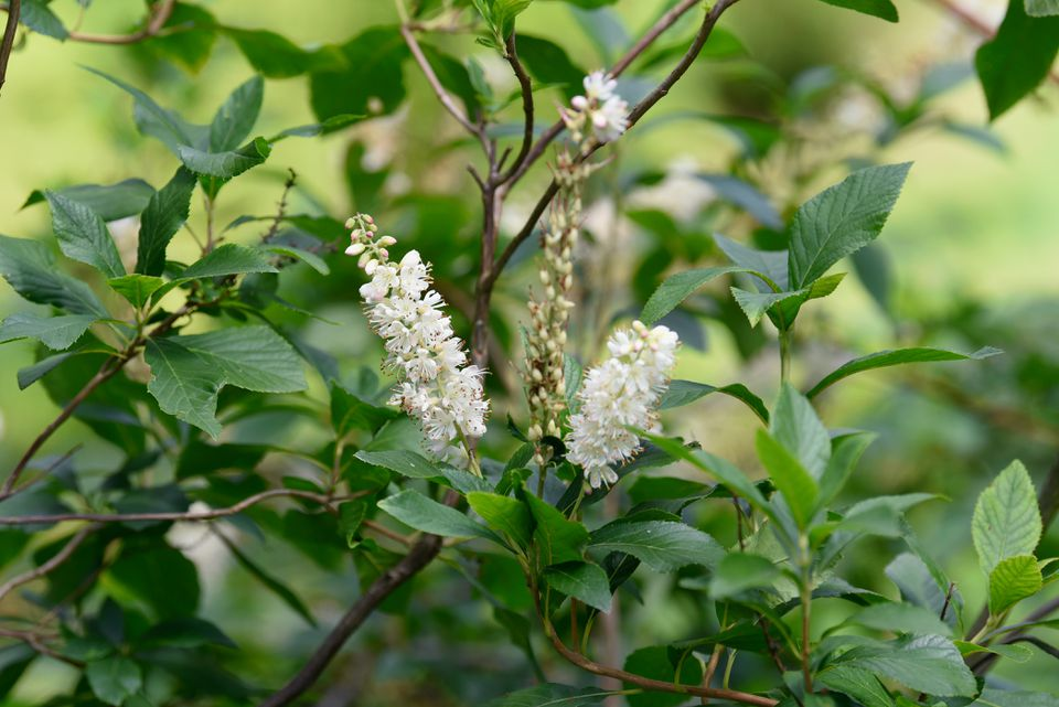 Summersweet shrub with white bottlebrush-like blooms surrounded by branches