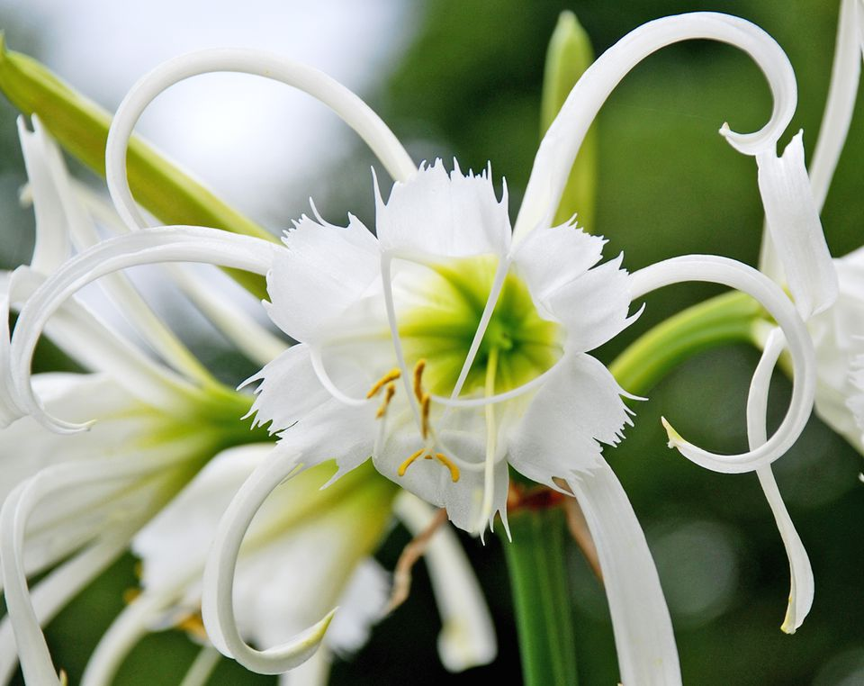 Spring blooming bulbs for warmer climates spider lily hymenocallis spp mightylinksfo