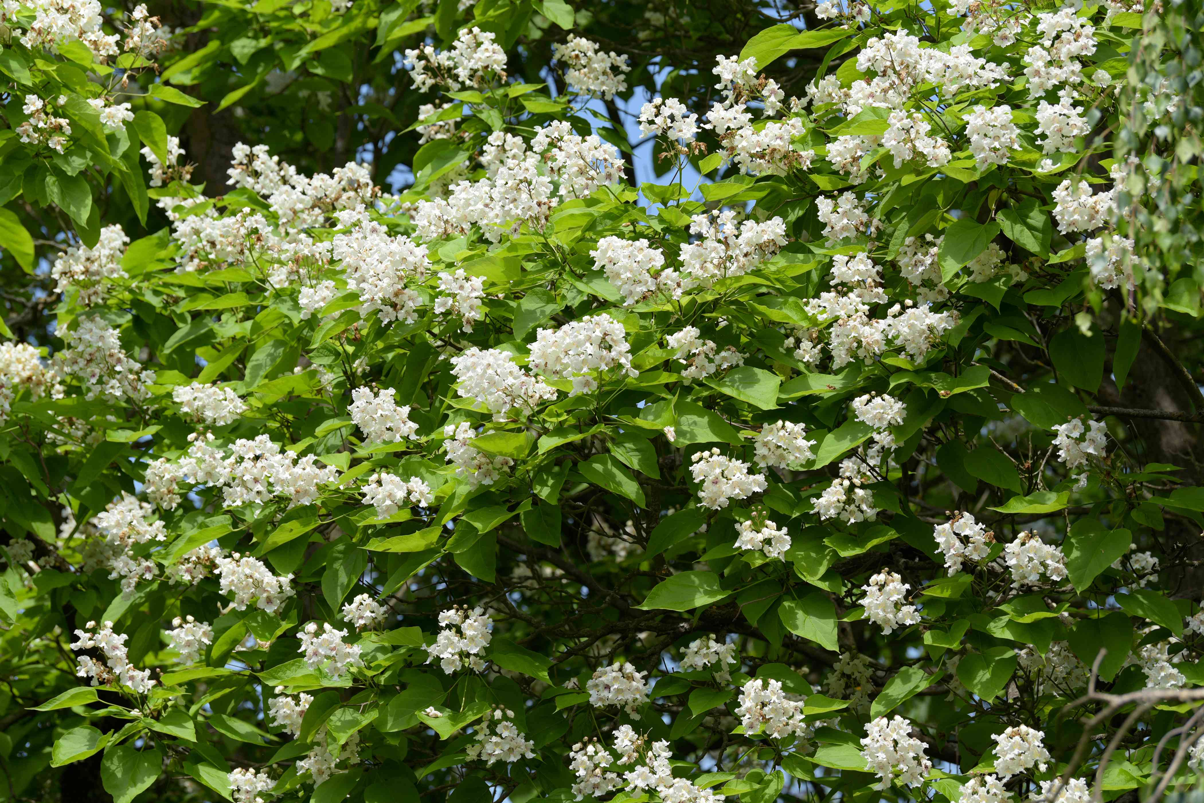 Catalpa tree branches with creamy white blossoms surrounded by green leaves in sunlight