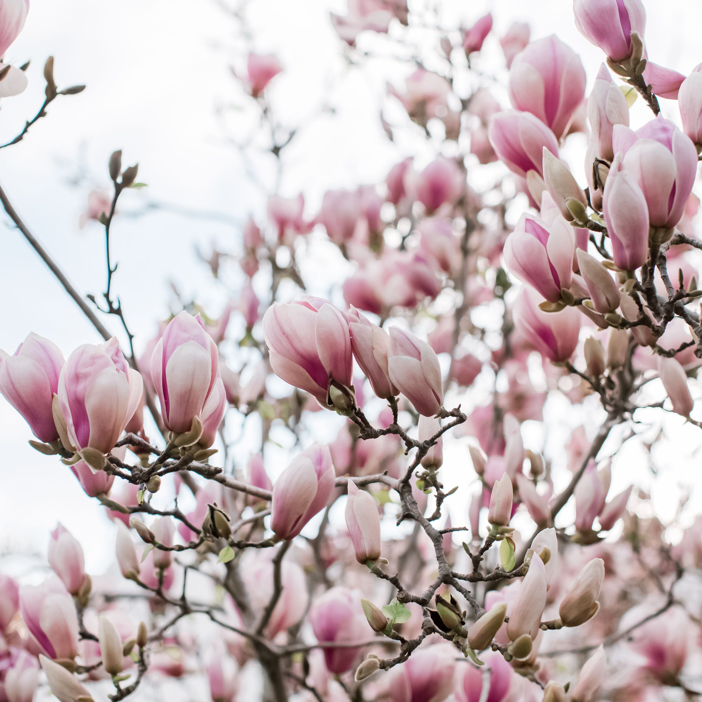 Saucer Magnolia Care And Growing Guide