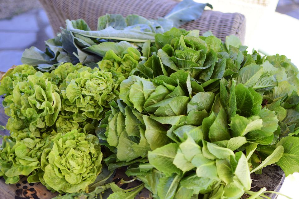 Varieties of butterhead lettuce