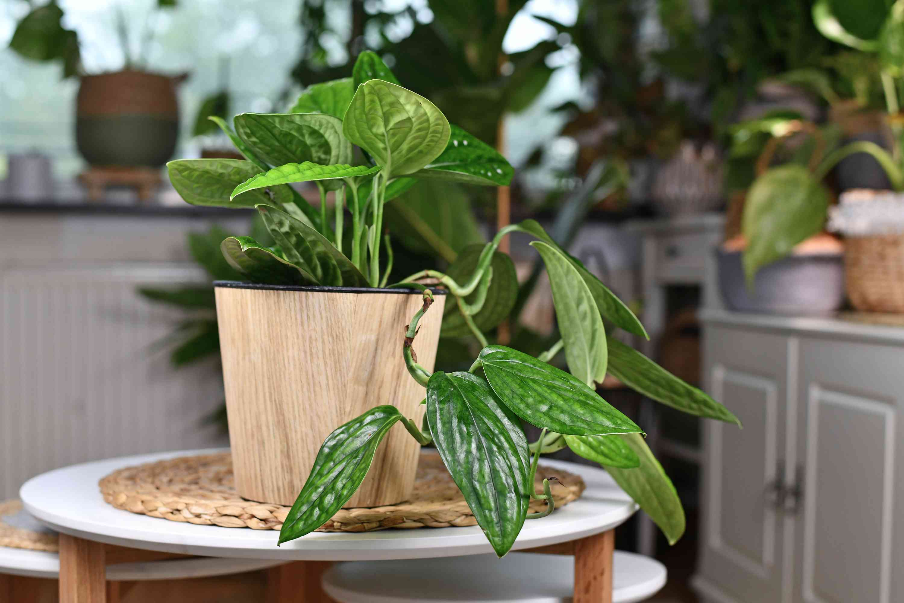 Monstera Peru in a wood pot on top of a white stool with other plants in the background.