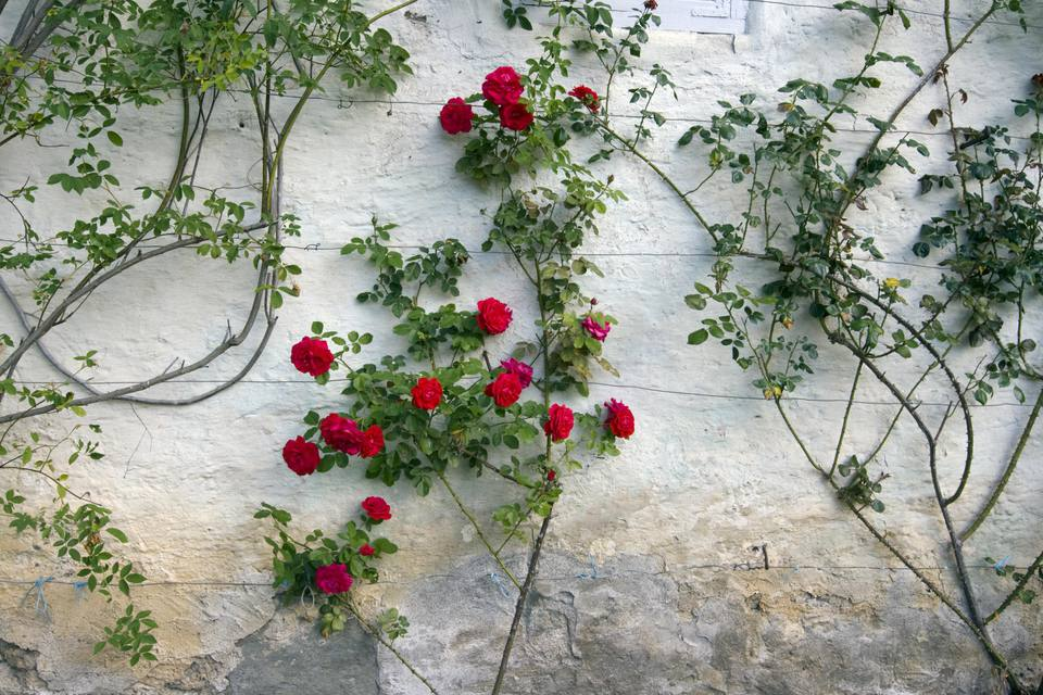 Roses on a white wall.