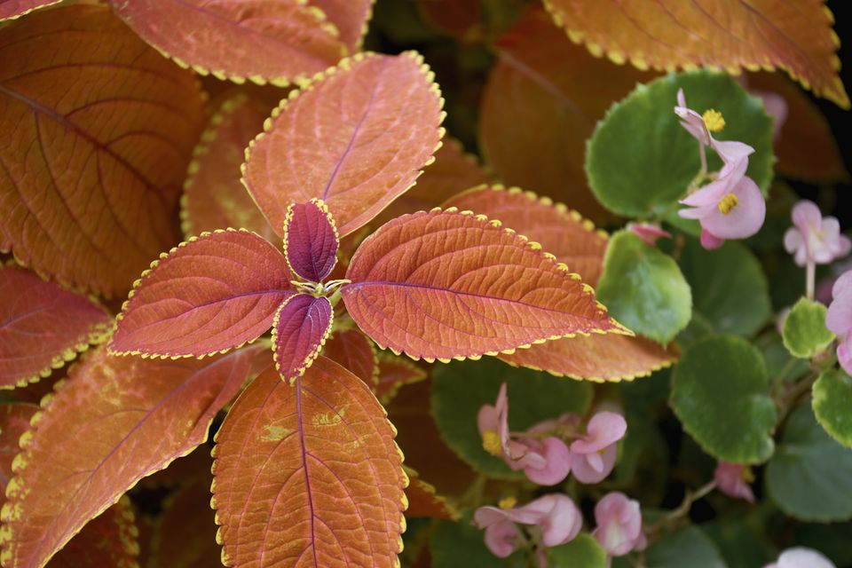 Coleus and Begonia