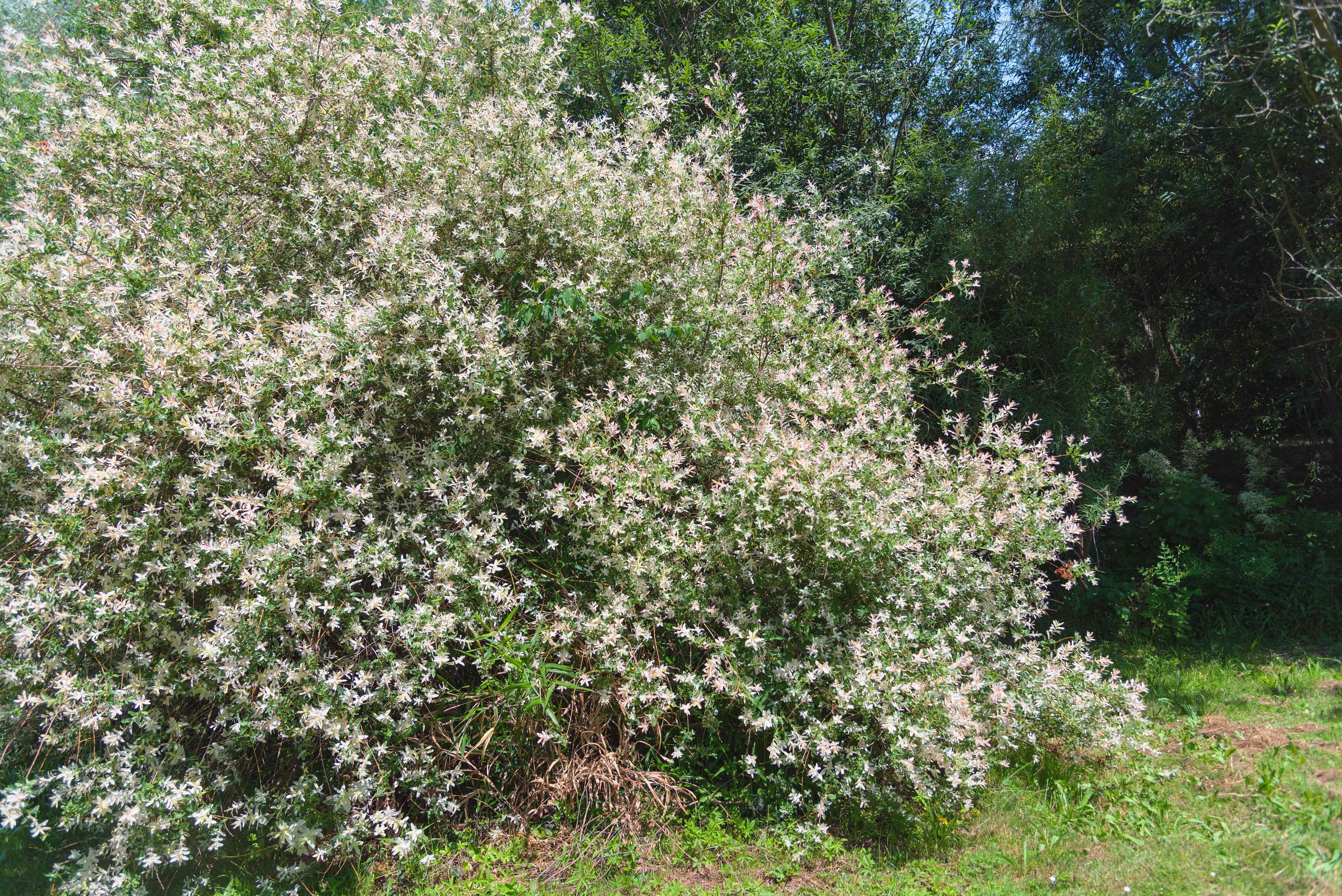 Flamingo willow shrub with white and green foliage in sunlight