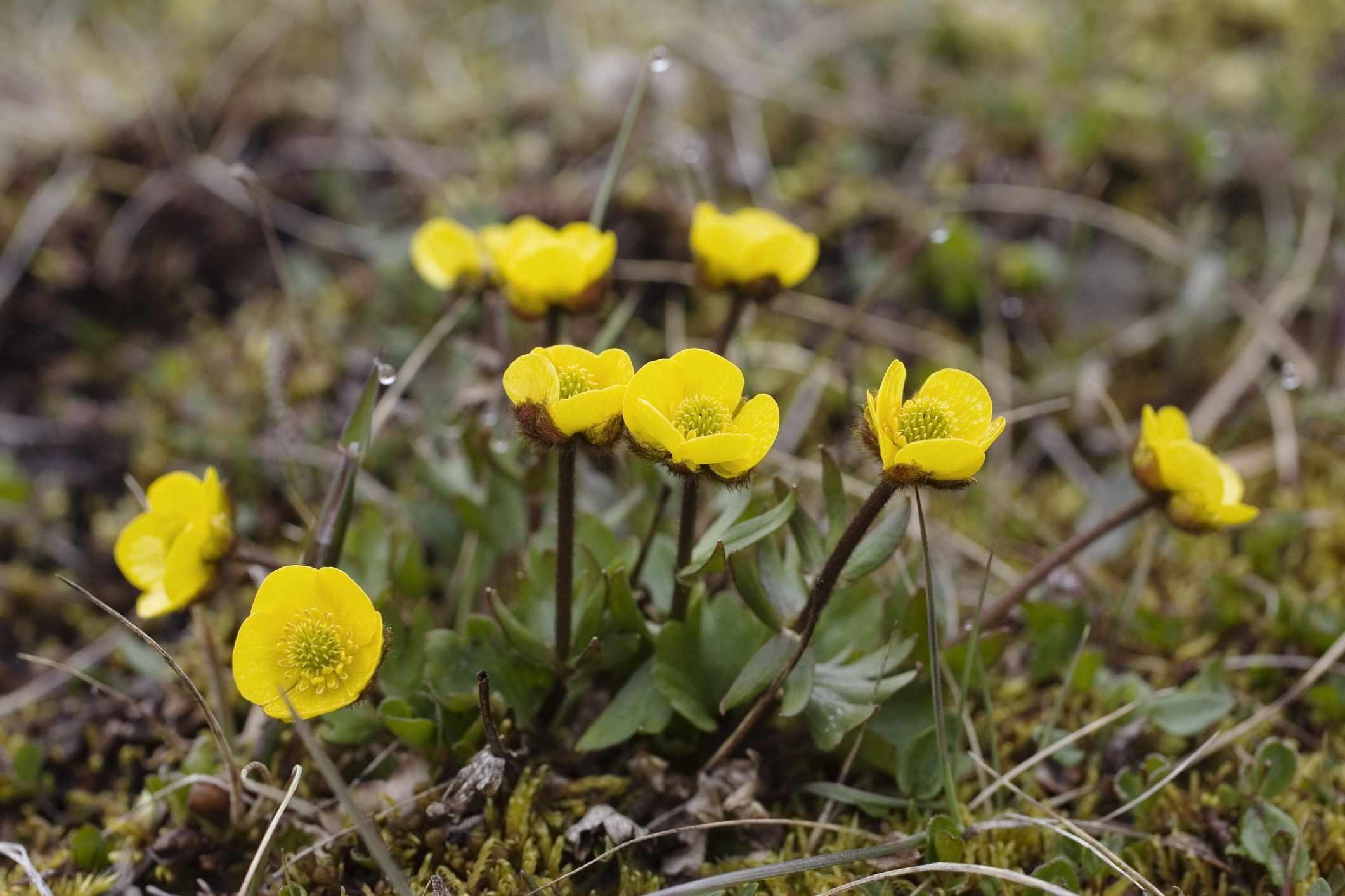 Ranunculus Nivalis