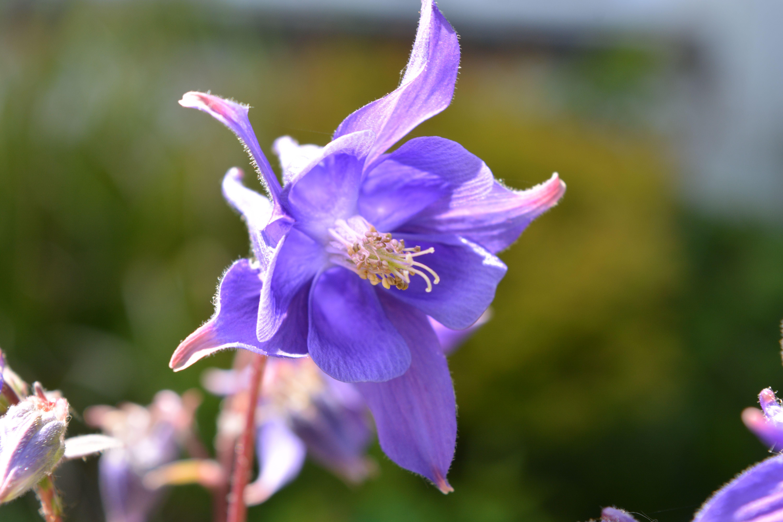 Aquilegia in flower