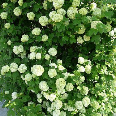 Imagen del arbusto de arándano europeo