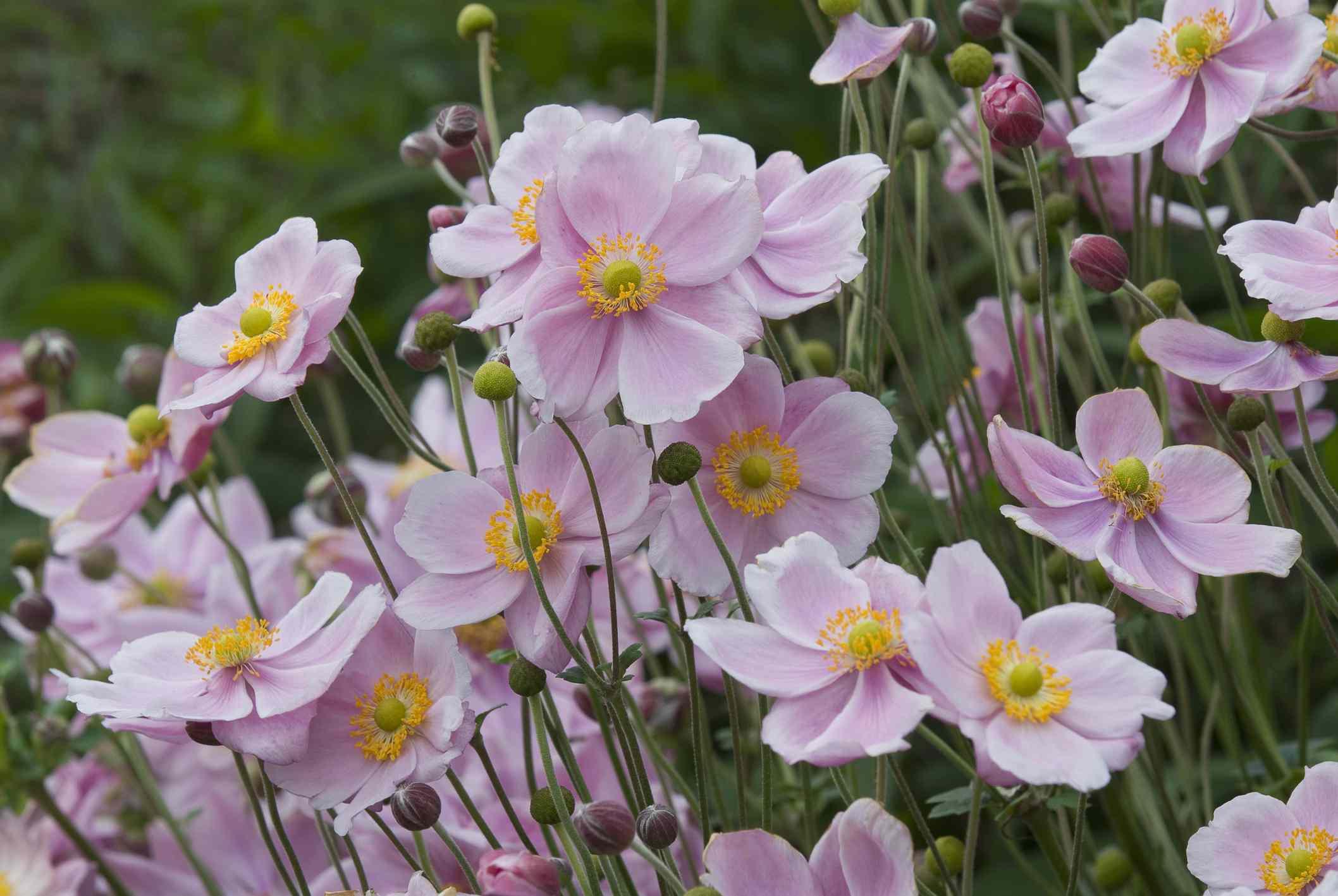 Anemone Montrose