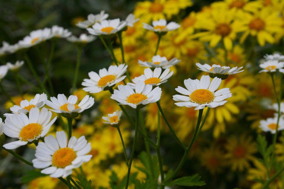 13 plants with daisy like flowers chamomile mightylinksfo