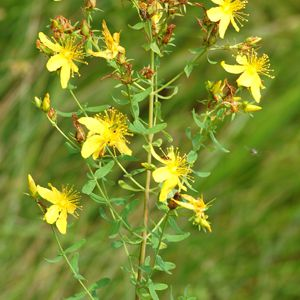 St. John's wort is an invasive plant with medicinal properties.