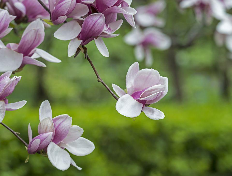 Magnolia soulangeana (saucer magnolia) tree