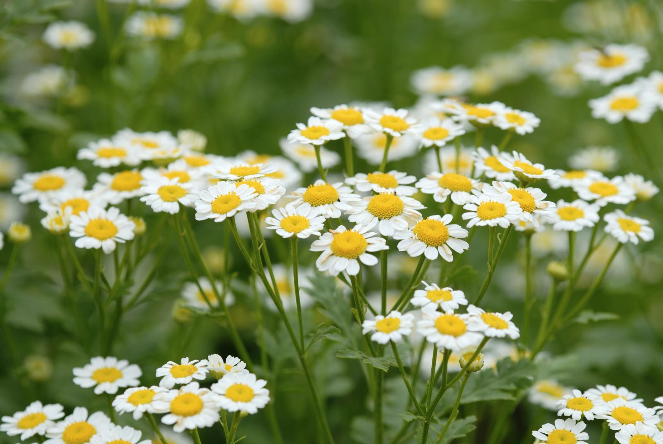 How To Grow Chamomile Plants