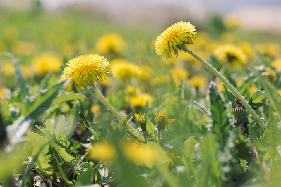 closeup of dandelions