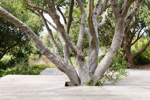 Multi-branched tree with wood deck surround