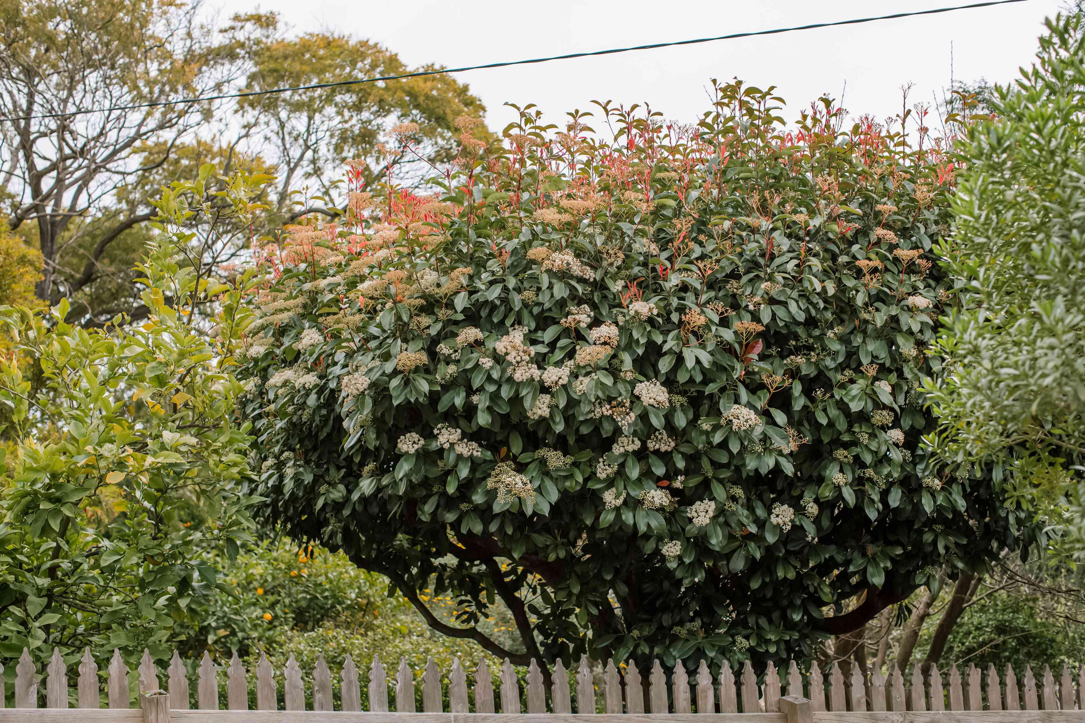 red tip photinia tree