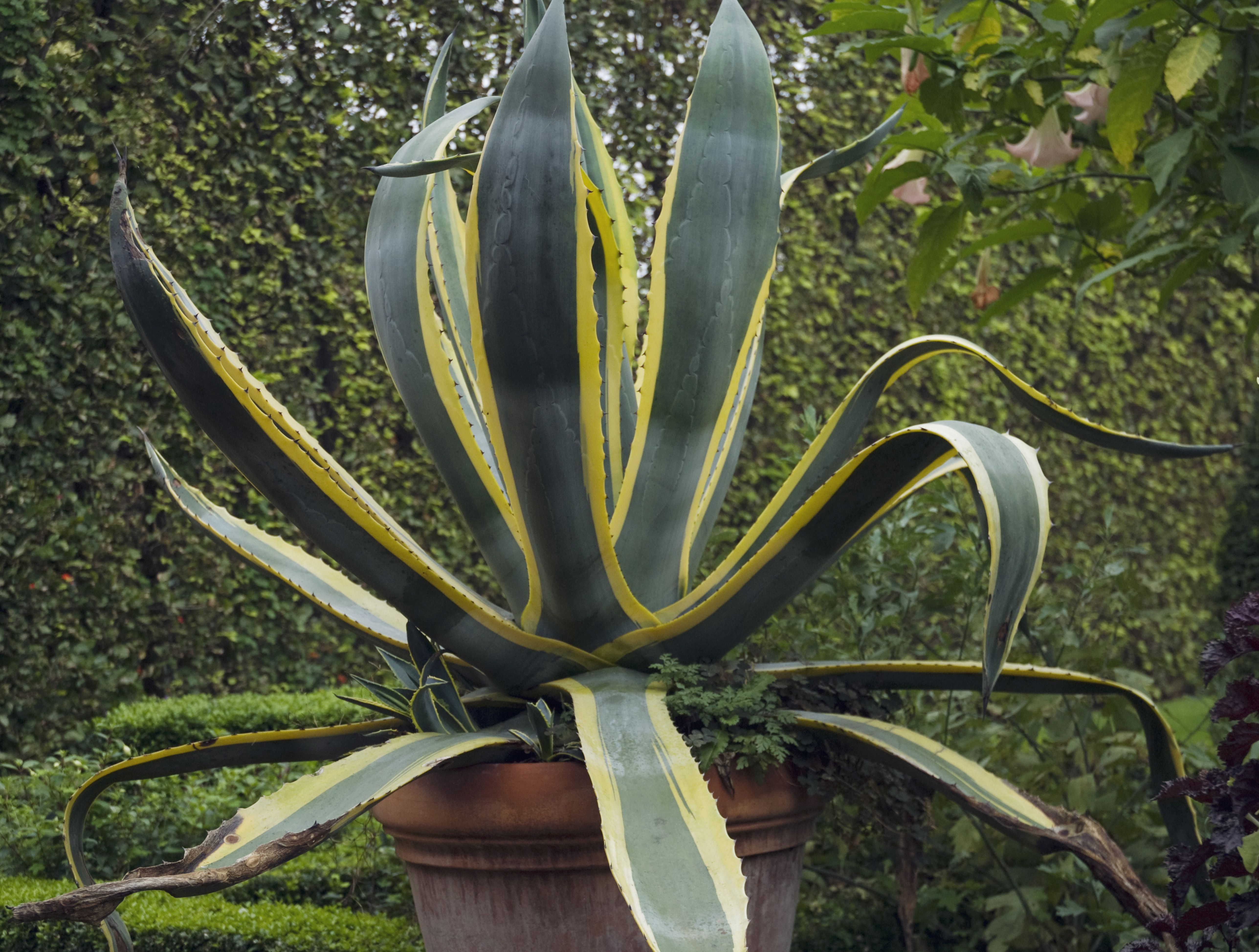 closeup of agave americana marginata