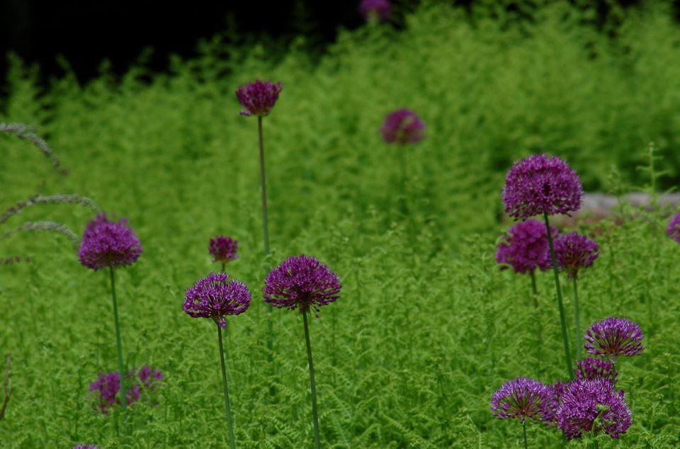 Image of alliums in fern bed, Thuya Garden, Maine.