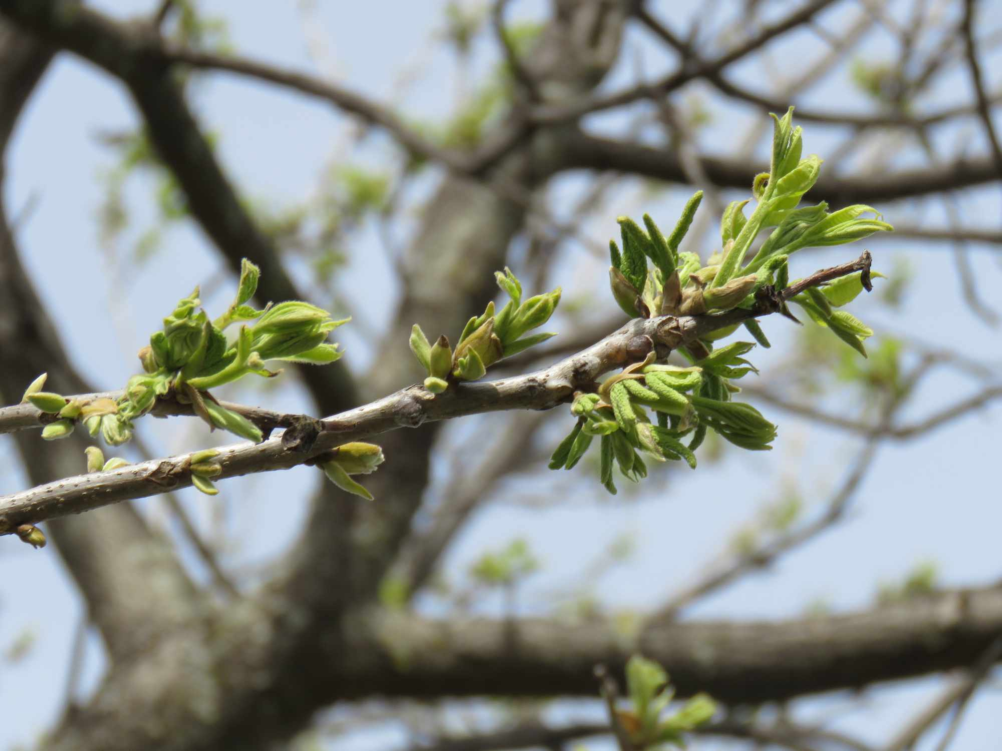 Pecan tree buds in the spring