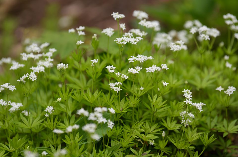 Sweet woodruff plant with lance-shaped leaves and small white flower clusters