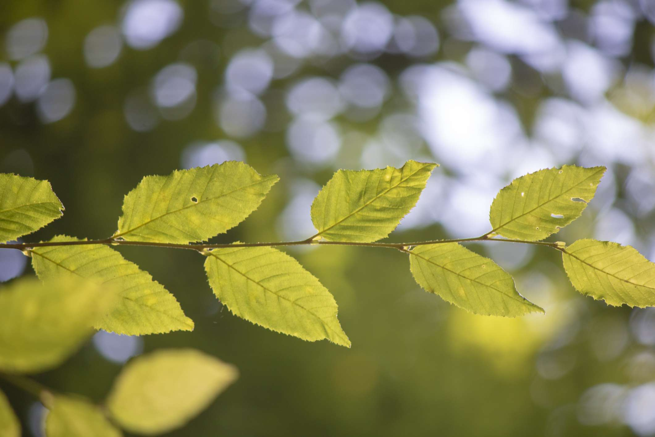 close up of the leaves of a cherry birch tree. Branch from left to right.