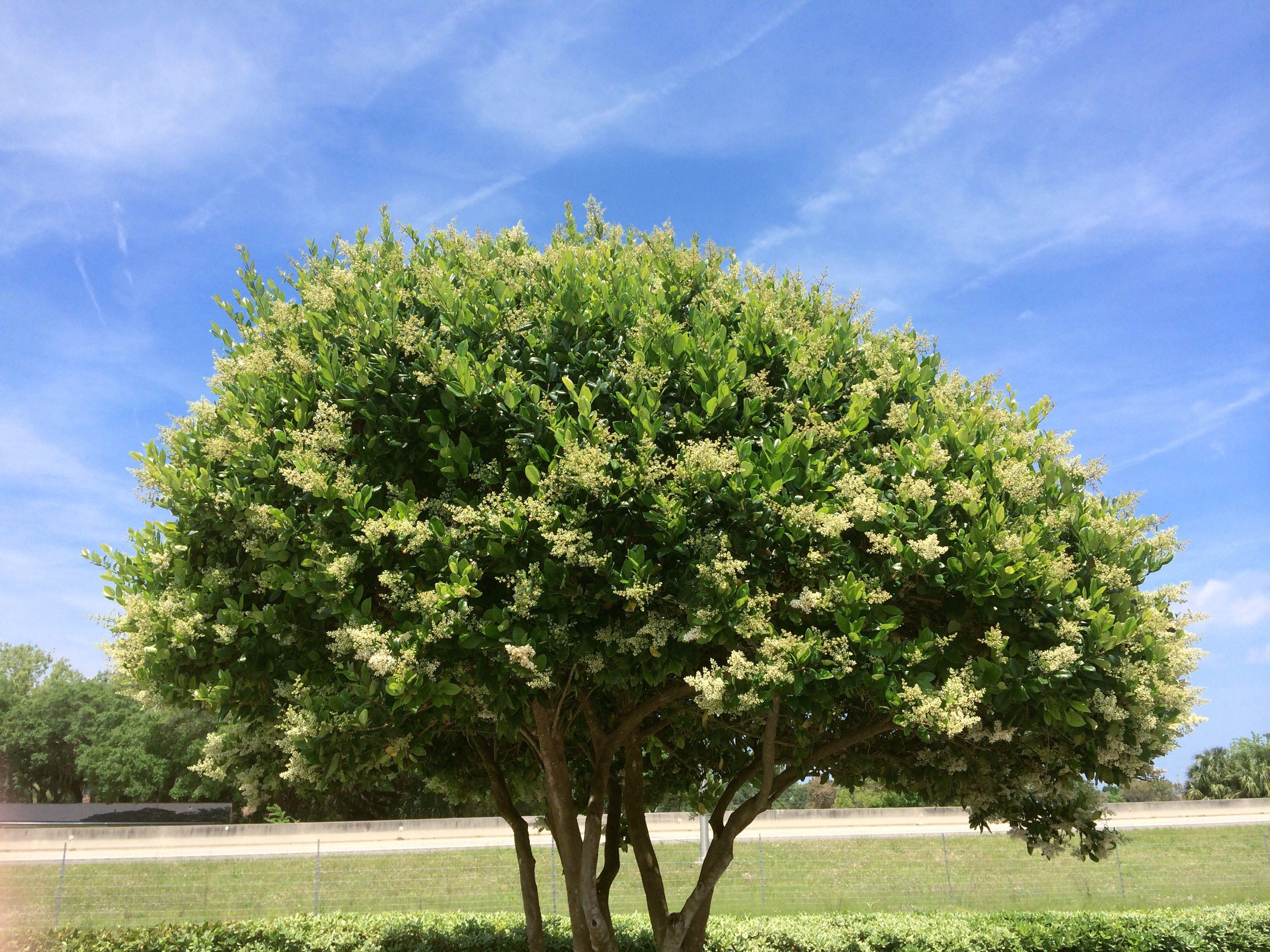 Privet shrub in bloom.