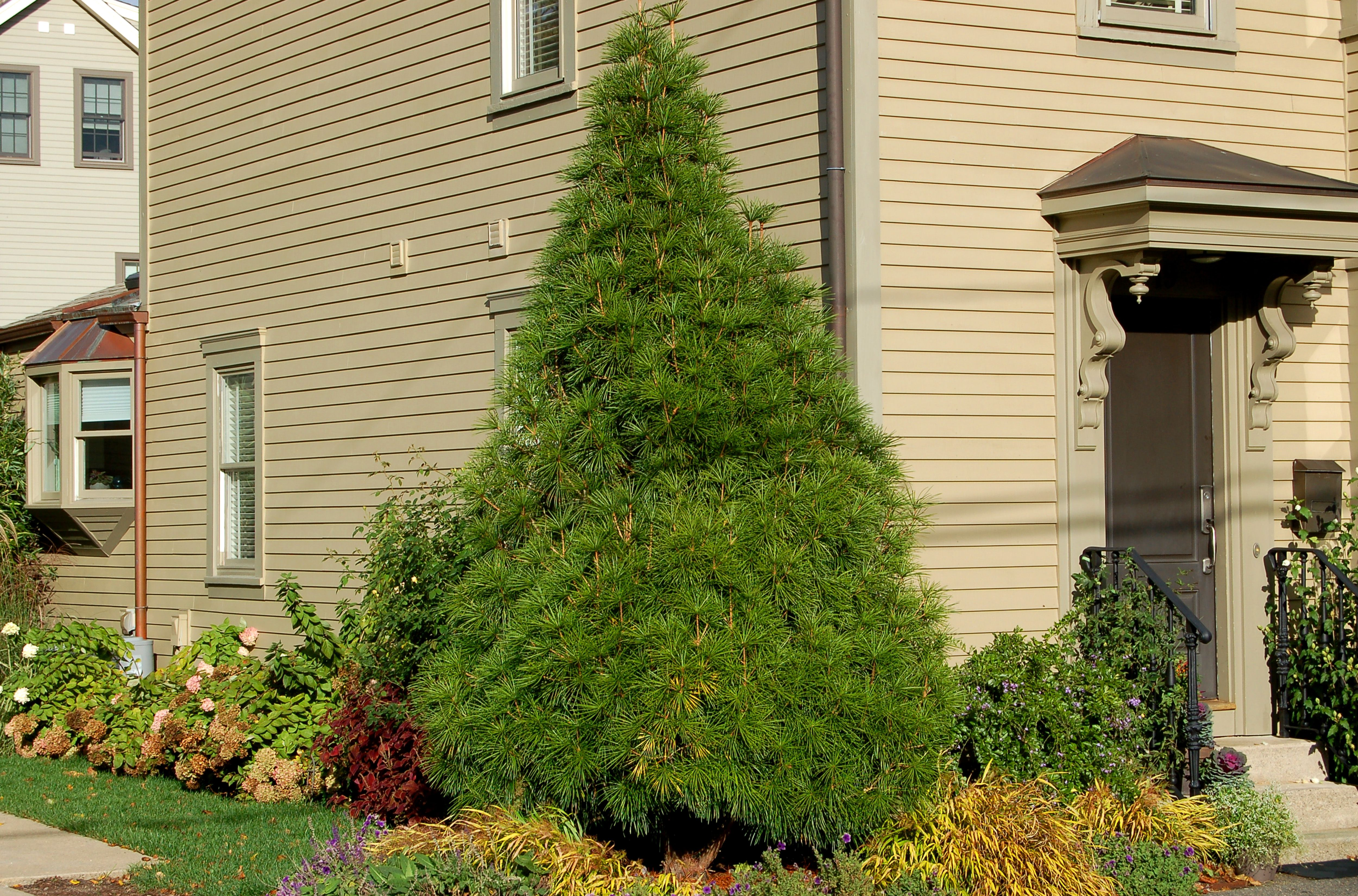 Image: These folks planted a Japanese umbrella pine tree right in their home's foundation bed.