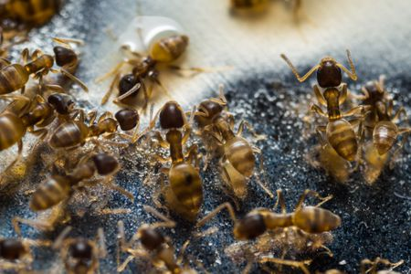 How to Get Rid of Grease Ants in Your Home