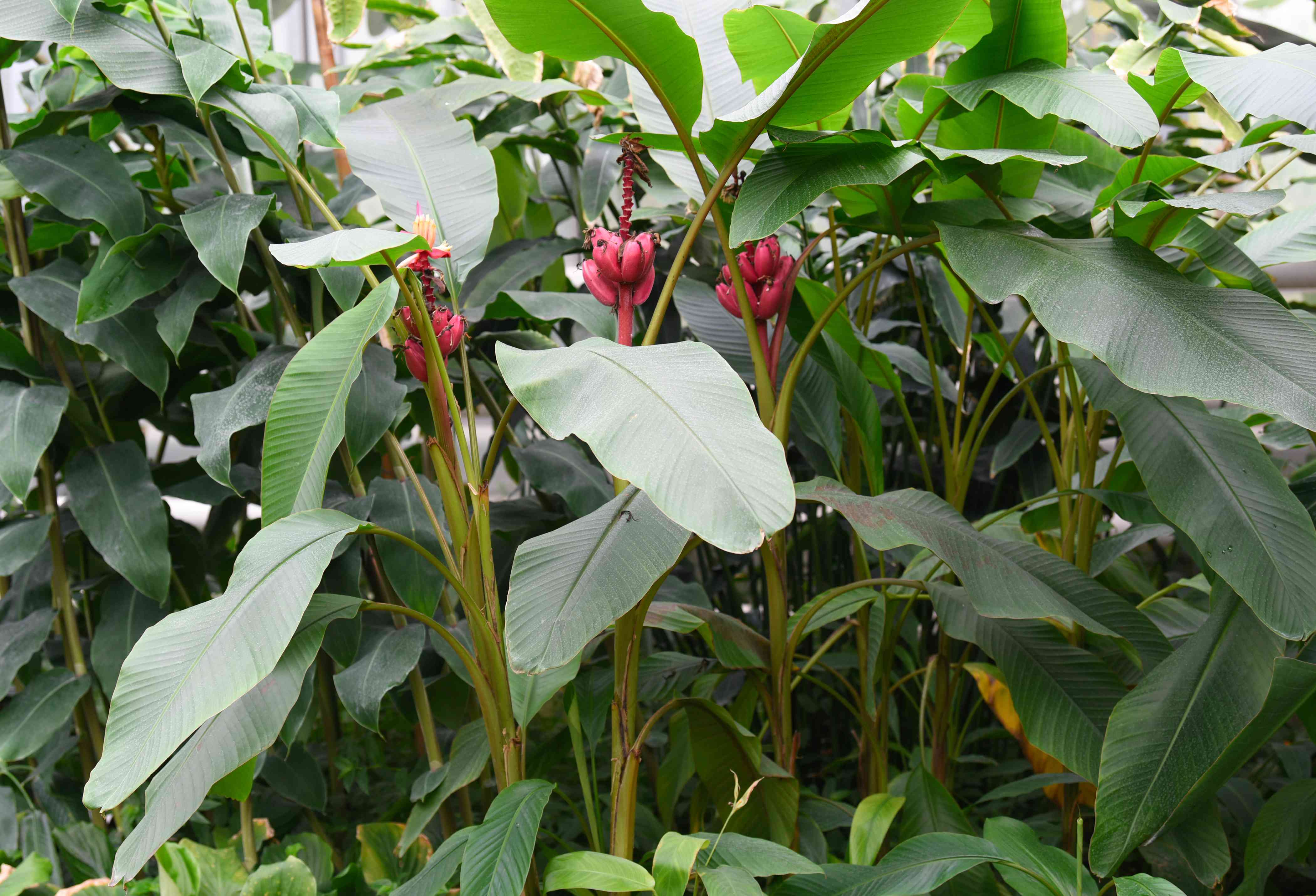 Velvet banana trees with tall thick stems and large oval leaves with pink banana fruit hanging