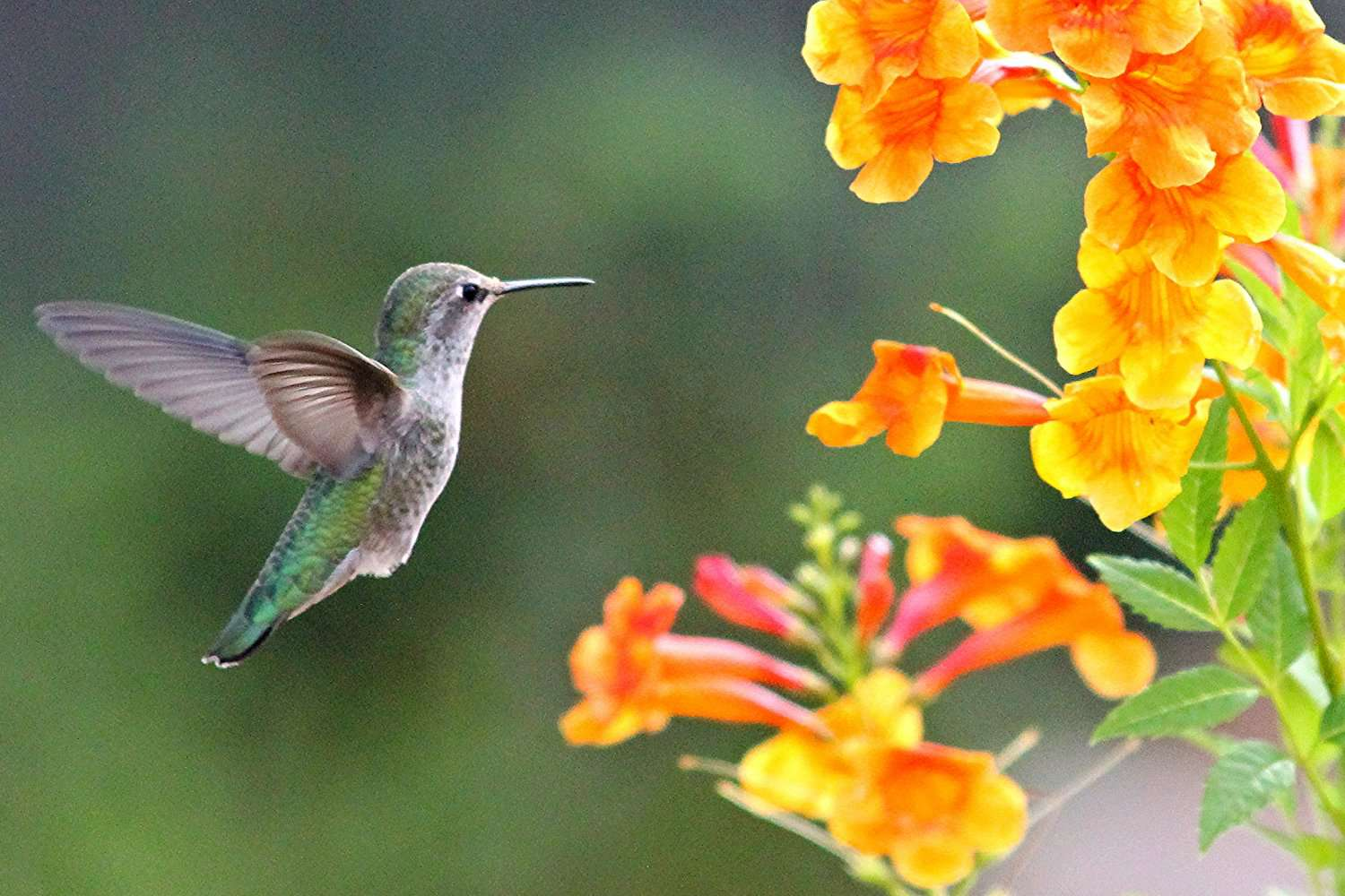 Hummingbird flying up to flowers