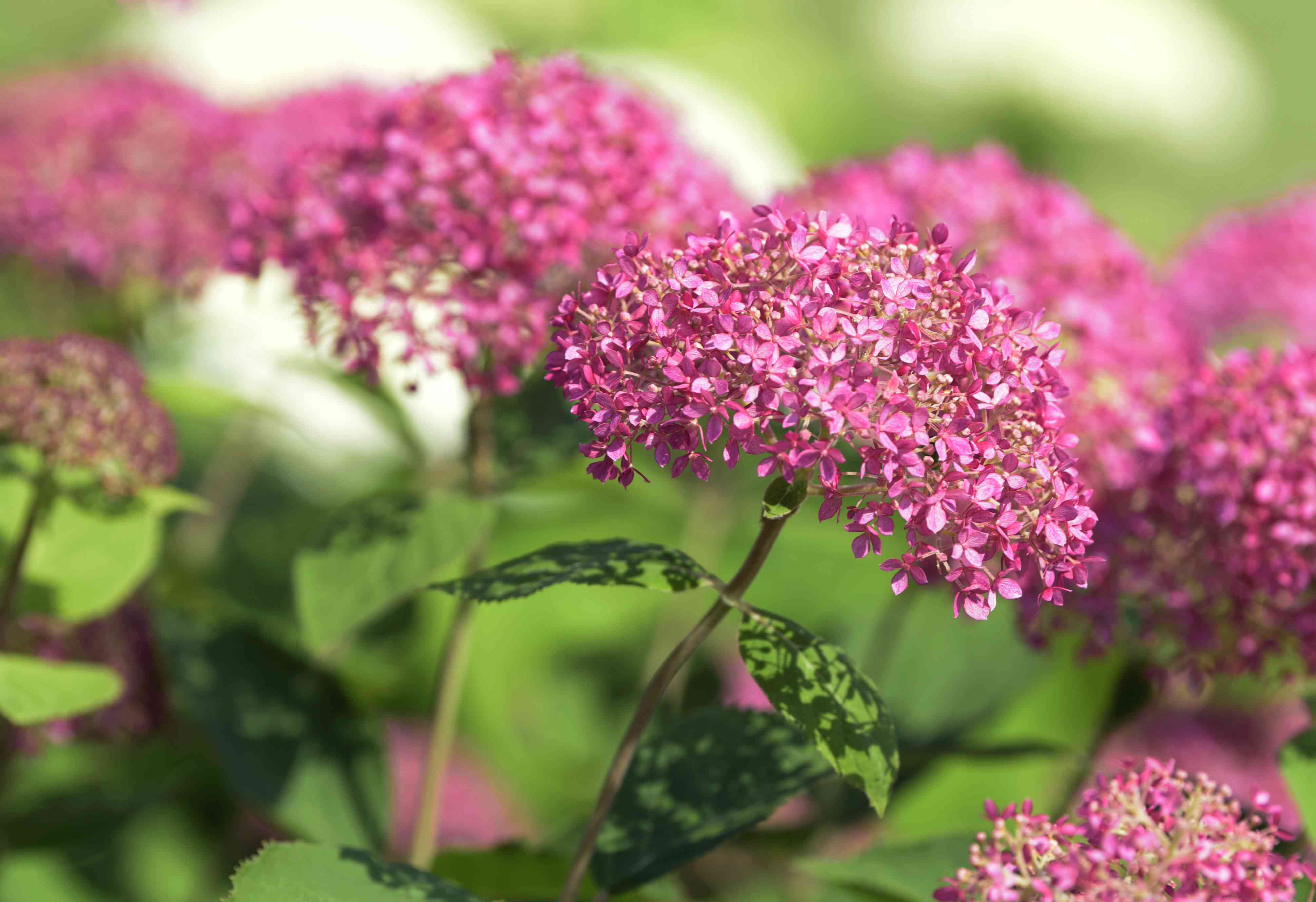 Invincibelle spirit hydrangea shrub with small pink flowers clustered on thin stems closeup