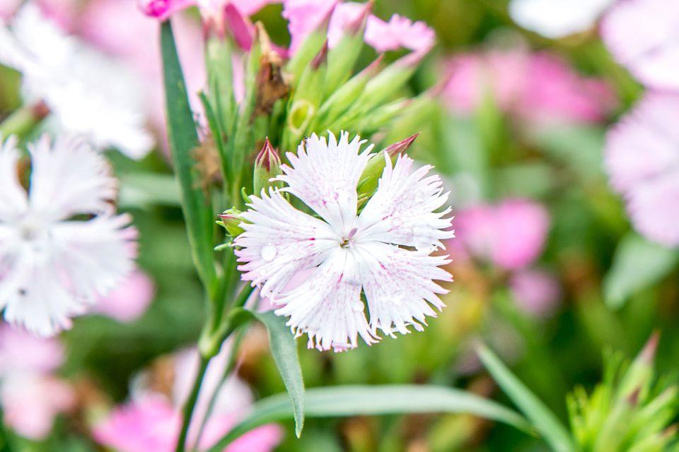 closeup of a perennial dianthus flower