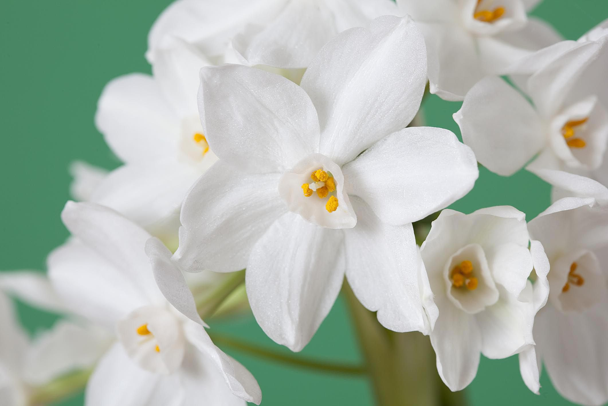 How To Force Paperwhite Narcissus Indoors