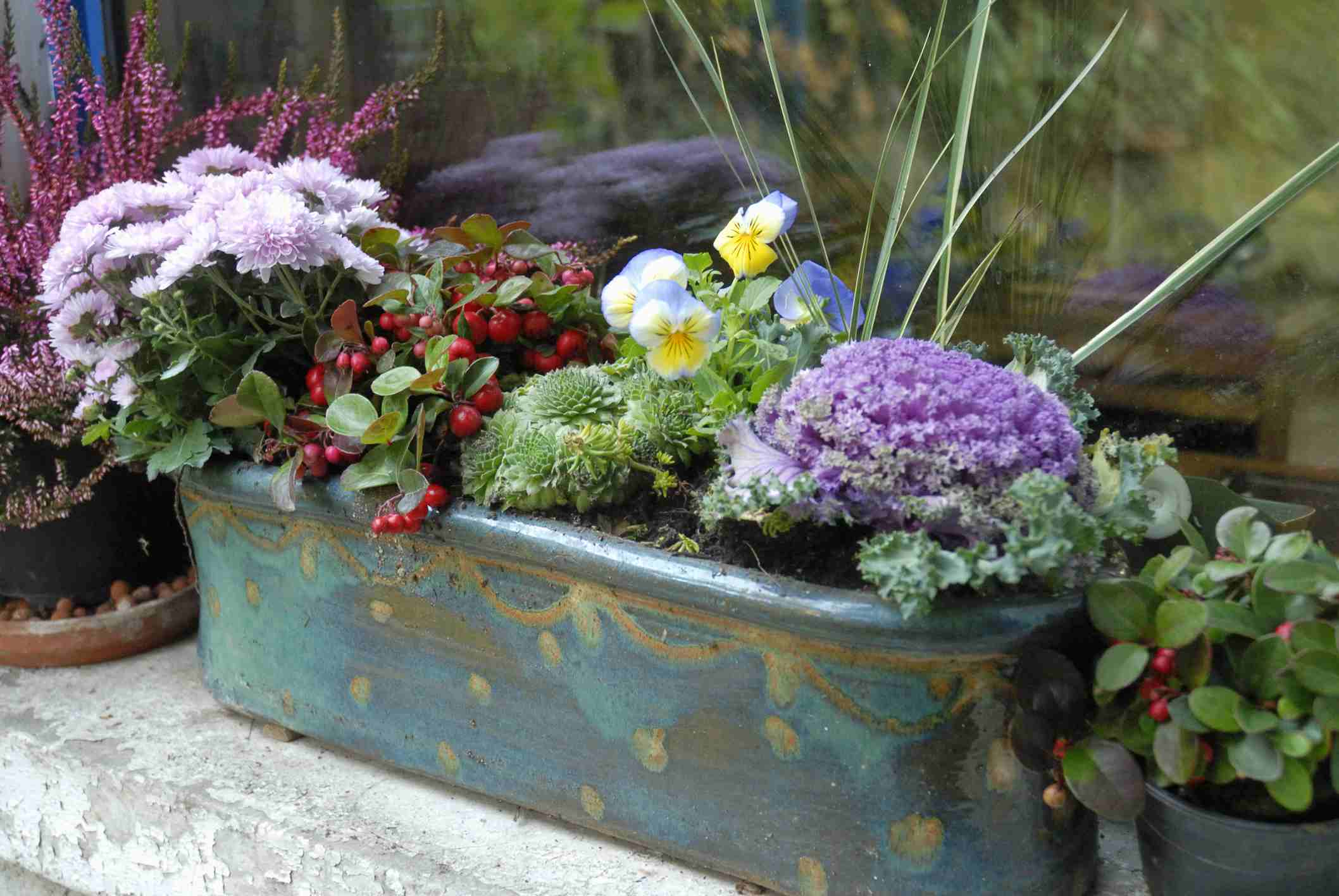 Ornamental cabbage in a container with chrysanthemum and other flowers
