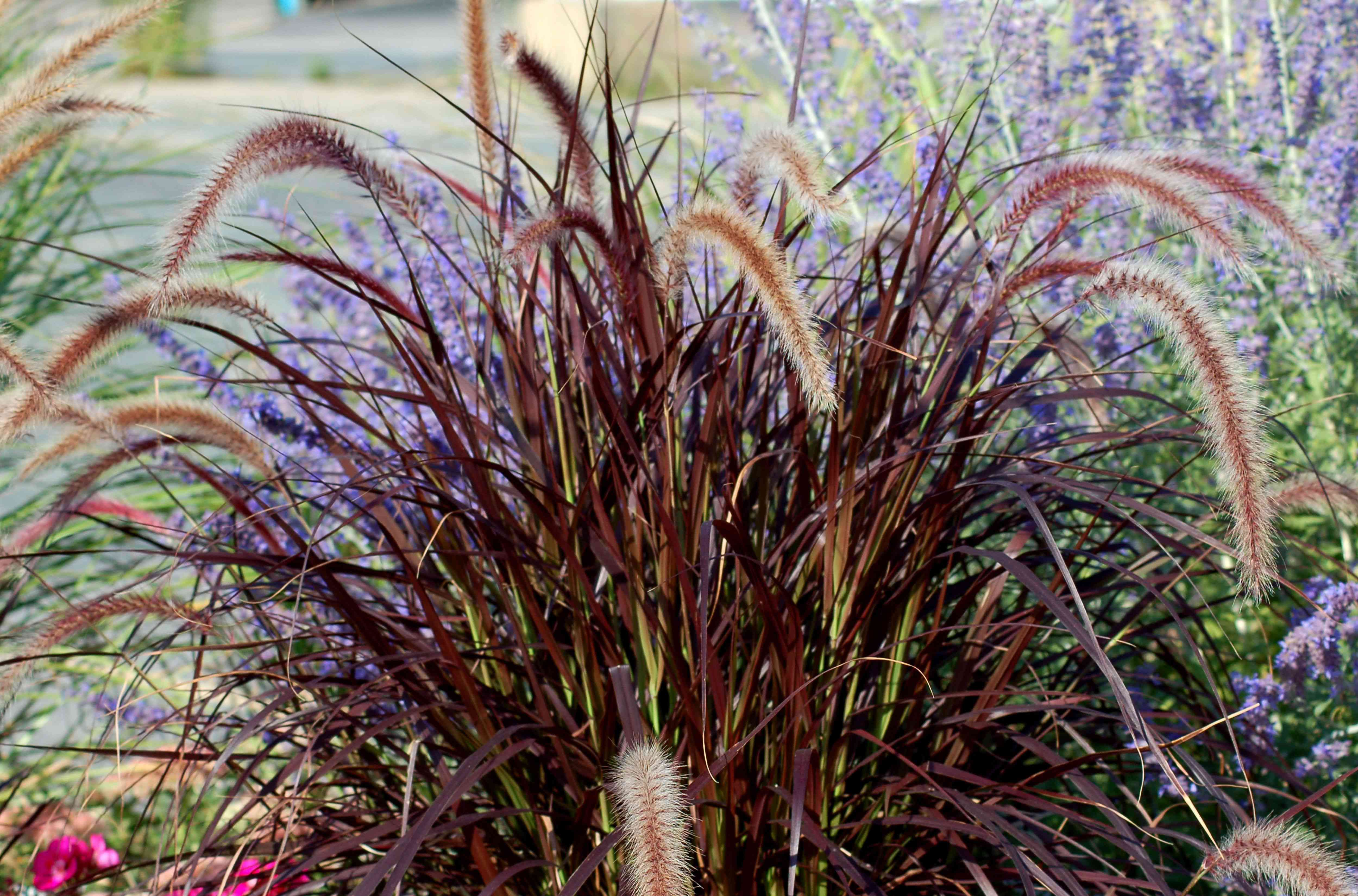 purple fountain grass and lavender