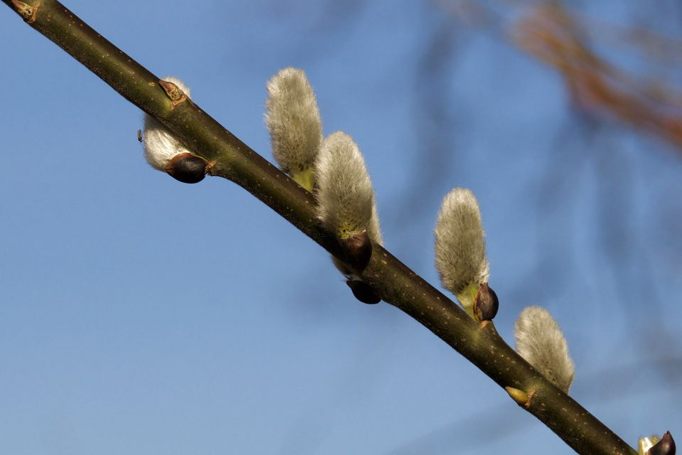 Branch of pussy willows growing outside.