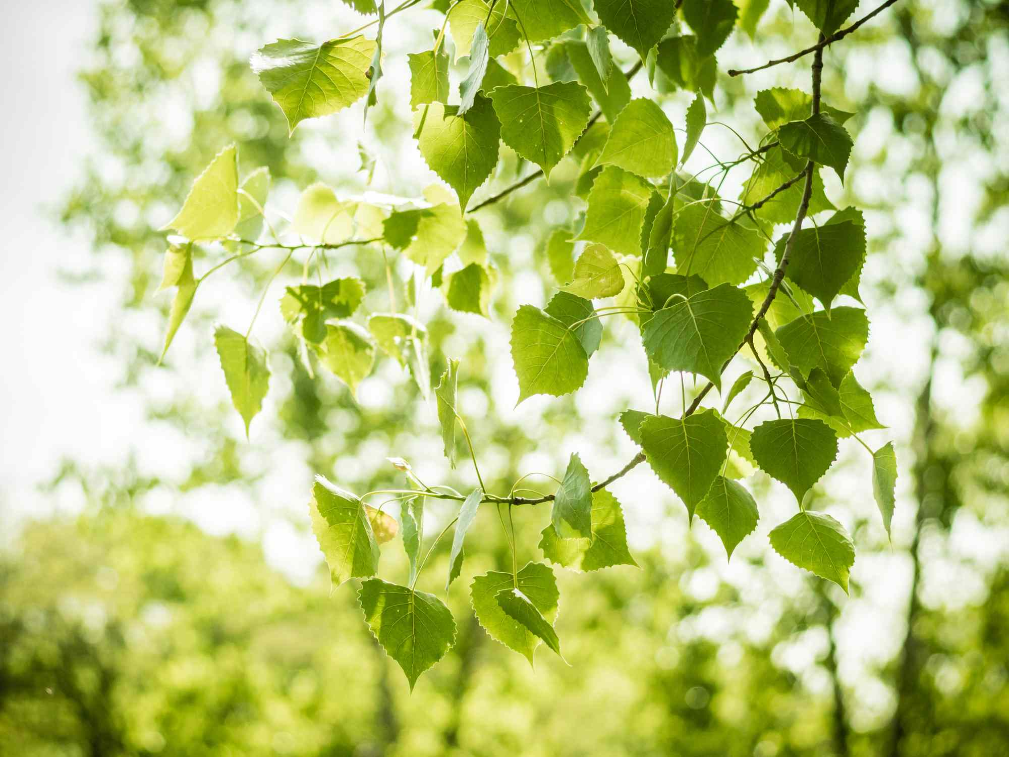 Leaves of the Big-Tooth Poplar